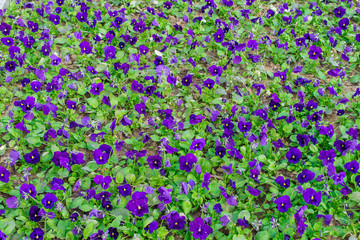 Purple flowers on the flowerbed, texture units. Natural floral b