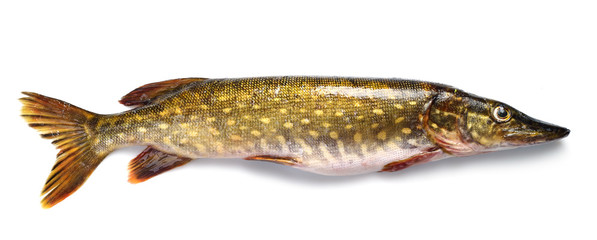 raw pike fish