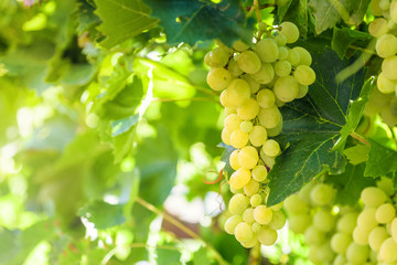 White grapes hanging on a bush in a sunny beautiful day