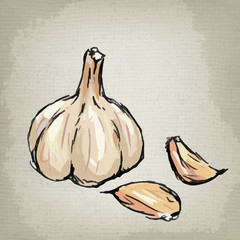 Fresh garlic. Vector illustration.