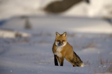 Rotfuchs auf der Jagd