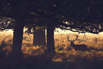 Wall Mural - Red deer stag silhouette
