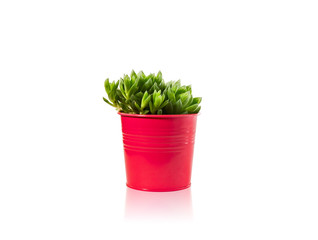 Haworthia succulent plant in vivid pot on white background with reflection