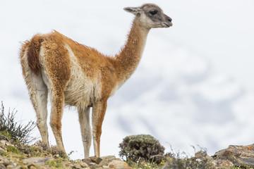 Guanako auf einem Hügel