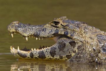 Printed roller blinds Crocodile Brillenkaiman wärmt sich auf