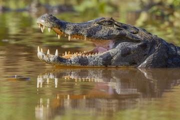 Poster Crocodile Brillenkaiman