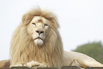Weißes Löwenmännchen Porträt