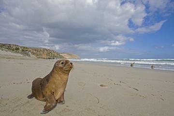 Junger Seelöwe am Strand