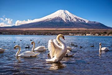 white swan flap wings in yamanaka lake