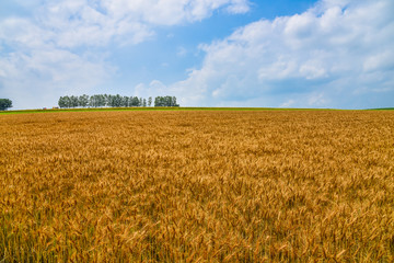 biei mild seven and wheat field
