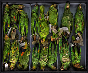 Just a box of taxidermied parrots
