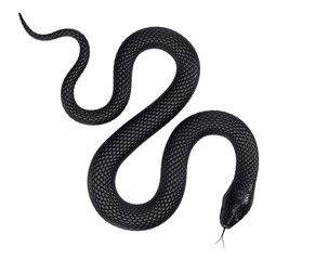 Black Snake isolated on White Background