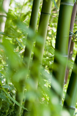 Poster Bamboe Close up of bamboo in a forest background