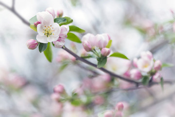 branch of apple blossoms colorful spring soft background