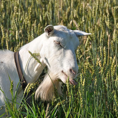 White goat eating