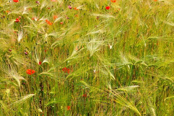 Poppies in the wheat field