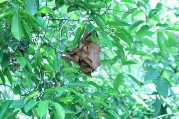Brown ant nests on trees, dense foliage