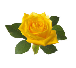 single beautiful  yellow rose