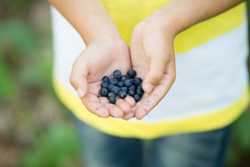 Close-up image of freshly picked wild blueberries in child's hands. Boy's fingers slightly stained blue from picking organic blueberries in summer forest. Kid holding a bunch of ripe berries.