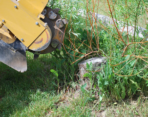 Tree stump machine removing an old stump outside.