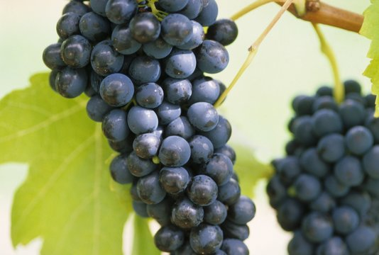 Shiraz grapes on the vine