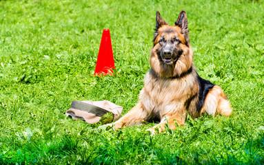 German shepherd command GUARD. The German shepherd is under command GUARD during training.