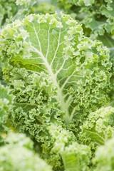 Kale (Brassica oleracea var. sabellica) growing in the garden