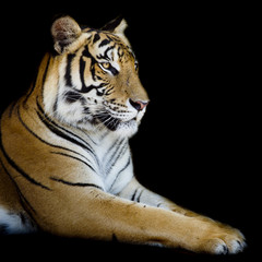 Wall Mural - Beautiful tiger - isolated on black background