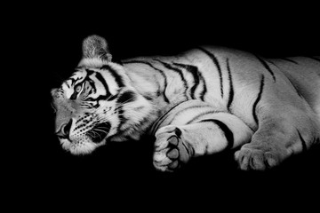 Fototapete - black & white tiger sleep on one's side isolated on black backgr