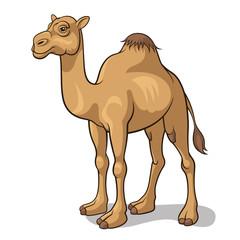 Camel 001