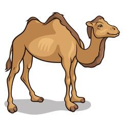 Camel 002