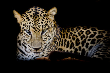 Wall Mural - Leopard portrait isolate on black background