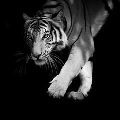 Fototapete - black & white tiger walking step by step isolated on black backg