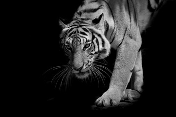 black & white tiger walking step by step isolated on black backg