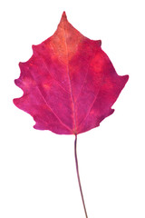 dark red aspen fall leaf isolated on white
