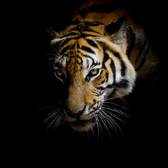 Spoed Fotobehang Tijger close up face tiger isolated on black background