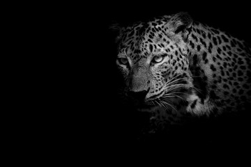 Fototapete - black & white Leopard portrait isolate on black background