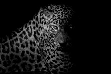 Wall Mural - black & white Leopard portrait isolate on black background
