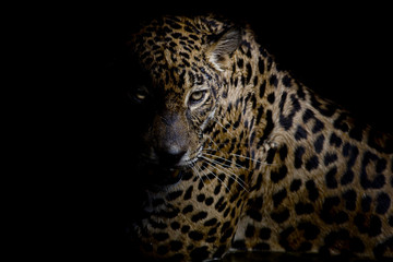 Fototapete - Leopard portrait isolate on black background