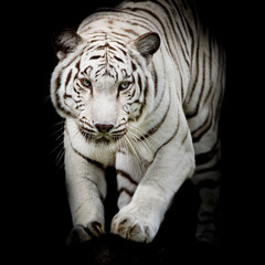 Fototapete - White tiger jumping isolated on black background