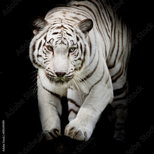 Wall mural White tiger jumping isolated on black background