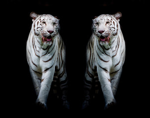 Fototapete - Twin white tigers are walking isolated on black background