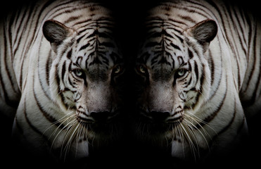 Wall Mural - Black & White Twin beautiful tigers face to face isolated on bla