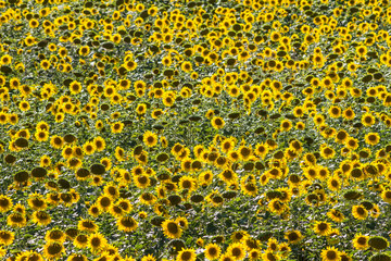 high angle of field of sunflowers in natural daylight