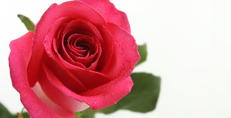 One wet pink rose on white background