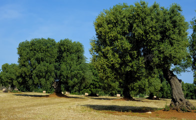 olive tree secular in the countryside of Apulia. Italy