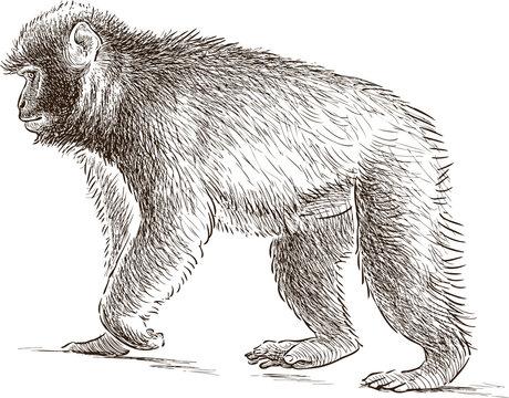 walking monkey