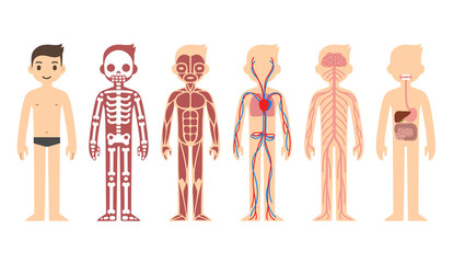 Stylized male body anatomy chart: skeletal, muscular, circulatory, nervous and digestive systems. Flat cartoon style.