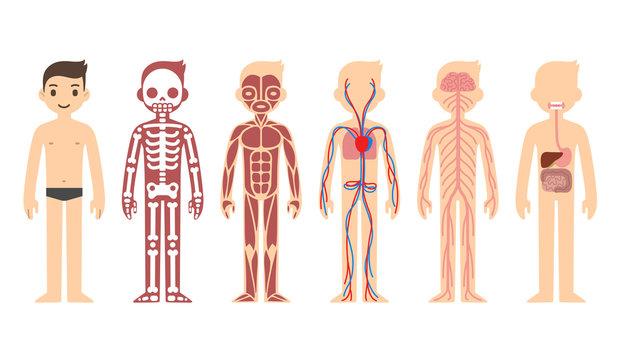 Stylized male body anatomy chart: skeletal, muscular, circulatory, nervous and digestive systems. Flat cartoon style.