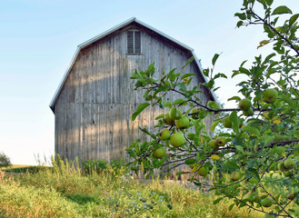 green apples on tree by weathered barn